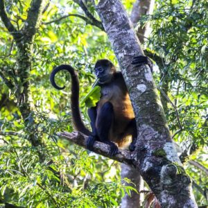 Spider Monkey photograph
